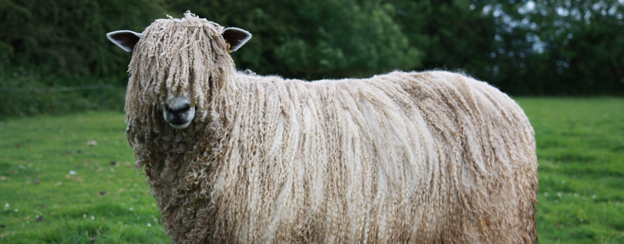 Role of the Leicester Longwool